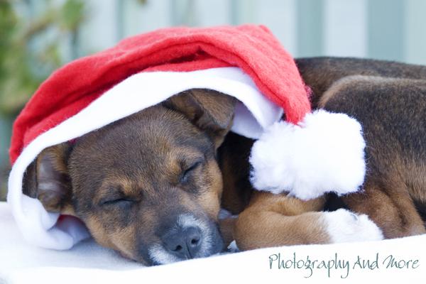 Puppy Elvis Santa / pet photography CT
