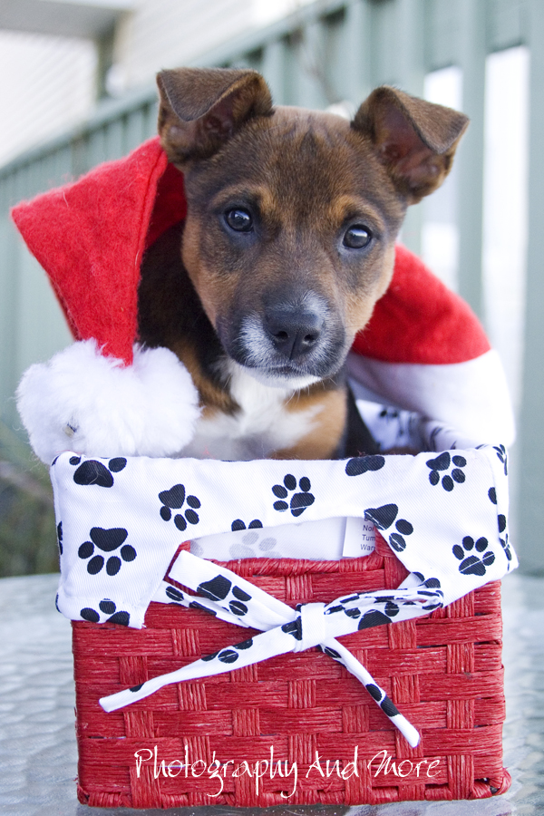 Puppy Elvis in box / christmas card photo