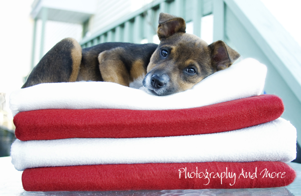 Elvis on towels / dog photography CT