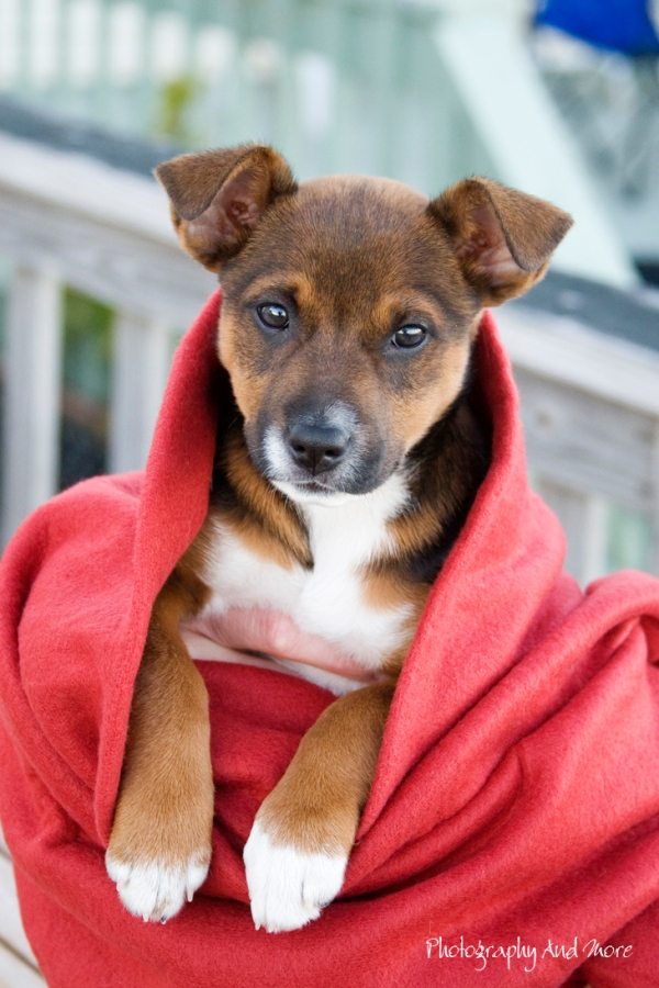 Puppy Elvis in red blanket / pet photography CT