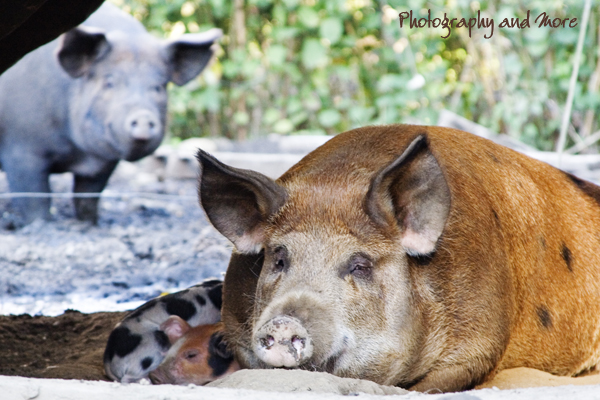 pigs and piglets / CT pet photographer