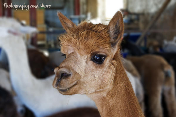 Alpaca baby / Connecticut farm animal photography