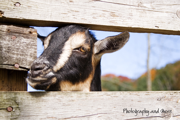 goat / CT pet photographer