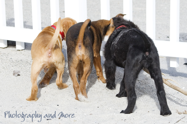 three little puppy butts / CT pet photographer