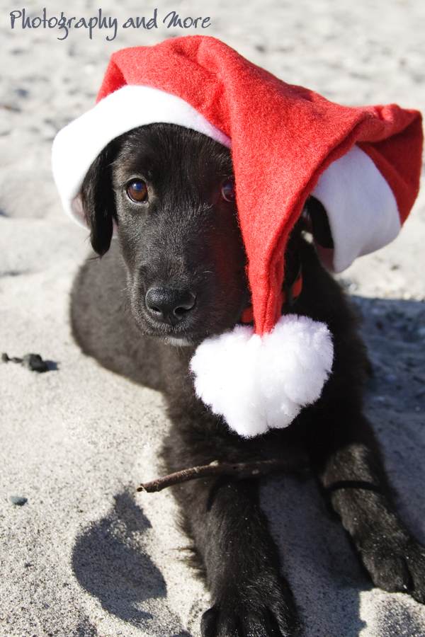 Puppy - Santa / CT pet photographer