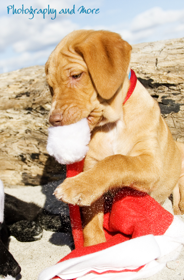 Puppy eating Santa hat / Milford pet photographer