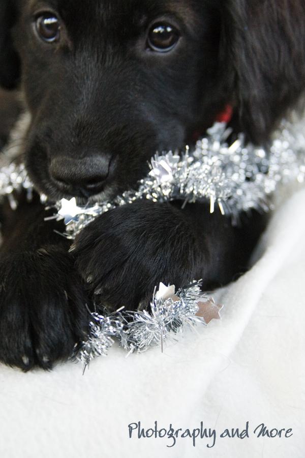 Lametta Puppy  / dog photographer CT