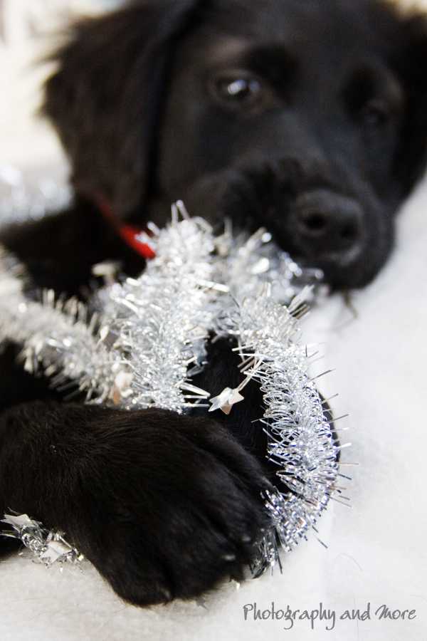 Puppy playing with christmas lamella / pet photographer Connecticut
