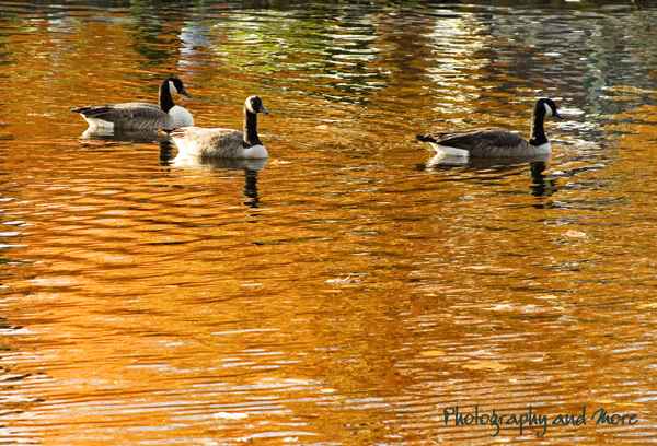ducks in gold / Ct animal photographer