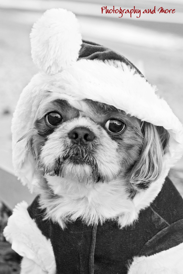 Coco black and white / pet christmas photography