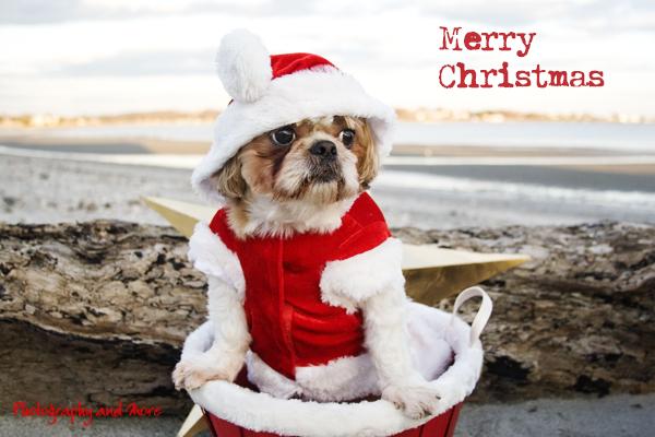 Dog christmas card photo Milford CT