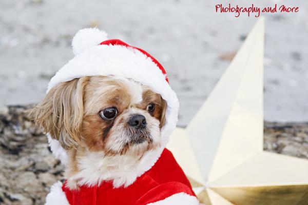 dog christmas photo shizu