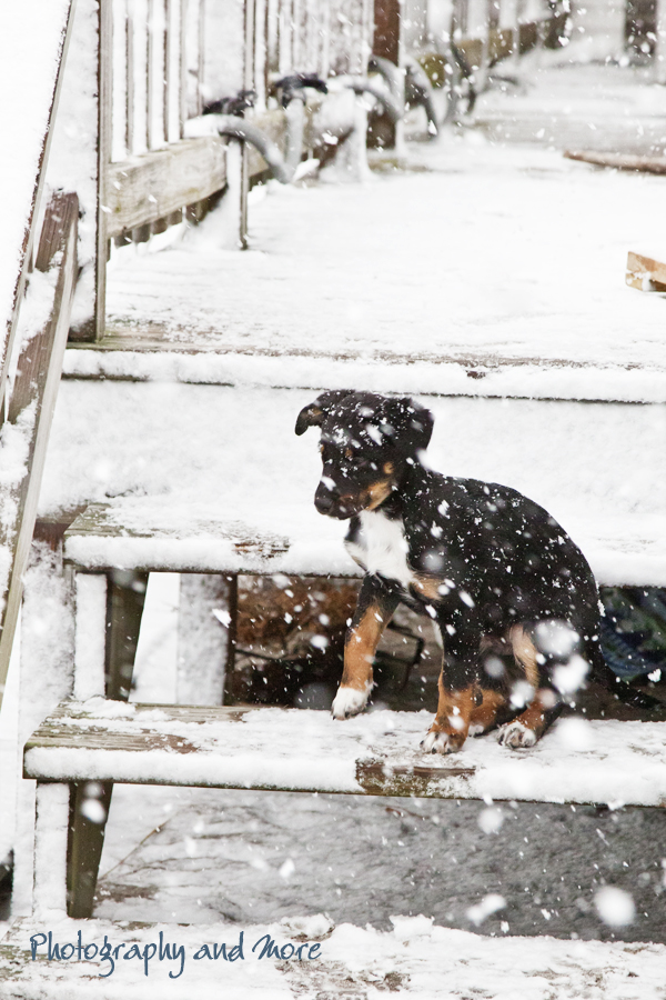Black puppy and Snowflakes / CT dog photographer