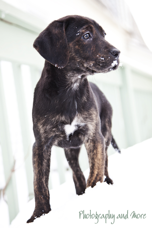 Mountain Cur Puppy on an excursion / CT pet photographer