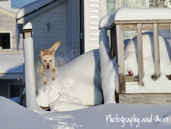 Here comes the snow dog   CT pet photographer