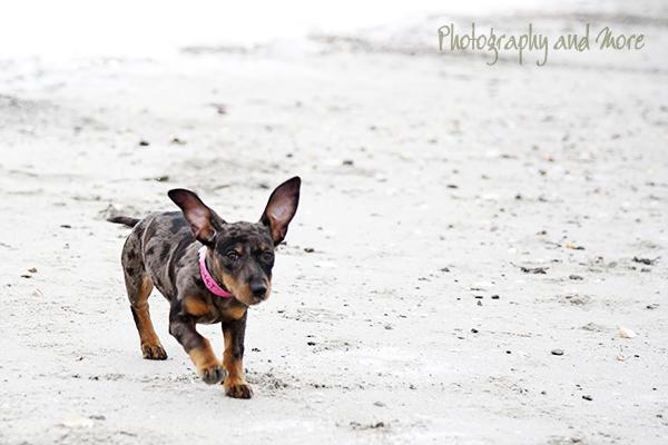 Dachsen on the run | Connecticut pet photographer