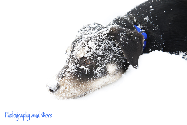New Fund-land mix puppy in the snow | CT pet photographer