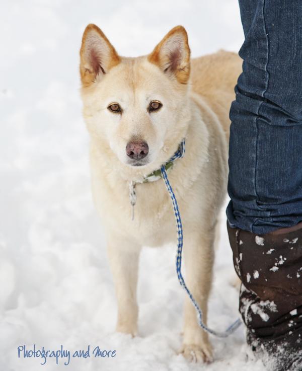 Husky lab mix | CT pet photographer