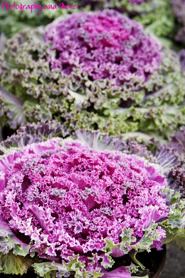 Purple cabbage in NYC / NYC and CT photographer