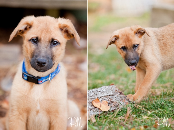 Shepherd puppy being silly | Connecticut pet photographer