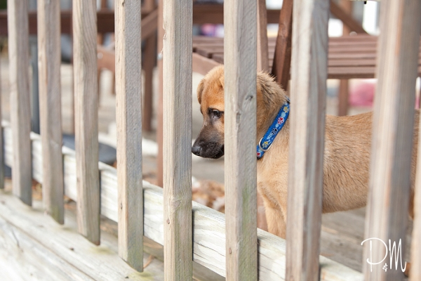 Shepherd puppy Max on porch | Connecticut dog Photographer