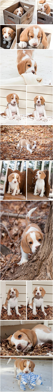 Beagle Puppy Cooper | Connecticut Pet Photographer
